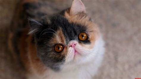 How To Update My Kitchen Cabinets by My New Flat Face Cat Cute Cats Hq Free Pictures Of Funny