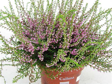 Heidekraut Pflege by Calluna Vulgaris Besenheide Heidekraut Lila Pflanzen