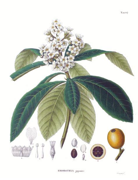 imagenes de japon wikipedia eriobotrya japonica wikipedia la enciclopedia libre