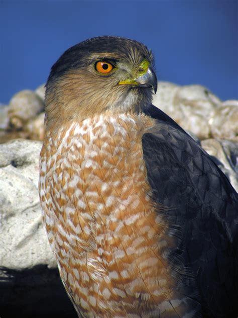 coopers hawks coopers hawk pictures coopers hawk the digiscoper cooper s hawk portraits