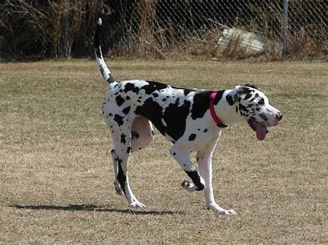 great dane puppy names 69 most popular great dane names