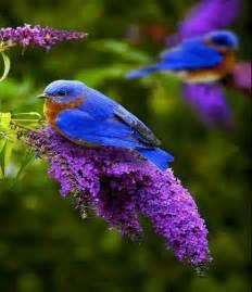 bluebirds pixdaus
