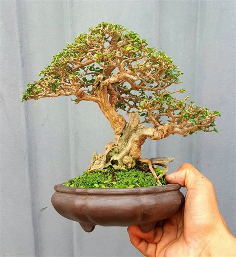 miniscaping  mame bonsai  sonny luna