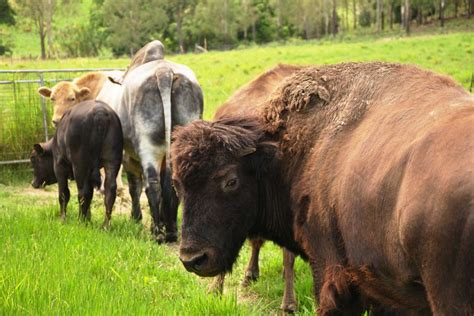 Bibit Sapi Medan inilah beefalo hasil kawin silang antara sapi australia