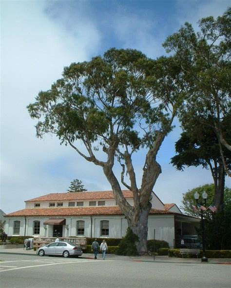 Pacific Grove Post Office by 53 Best I Eucalyptus Trees Images On