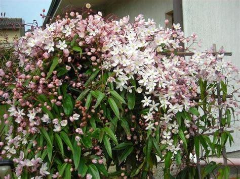 pianta sempreverde con fiori piante ricanti ricanti ricanti