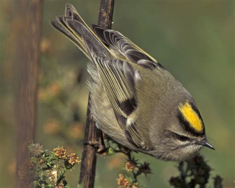 golden crowned kinglet regulus satrapa biodiversity of