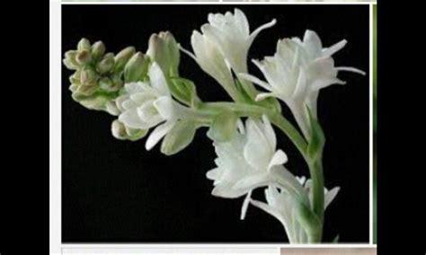 jual bibit tanaman umbi bunga sedap malam  lapak