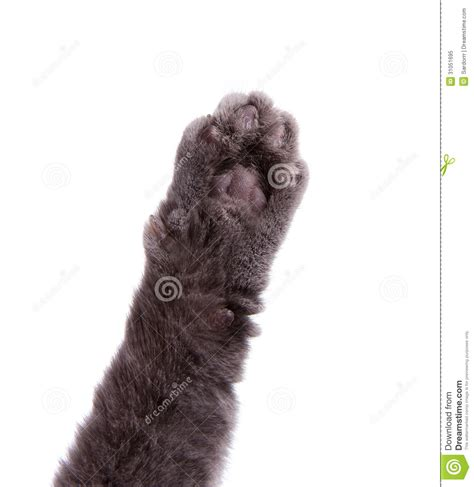 Gray Carpet by Cat S Arm Raised Paw Royalty Free Stock Photo Image