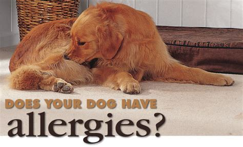 can dogs allergies allergies in dogs what can i do about allergies symptoms mossview