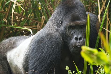 Eastern lowland gorilla - Wikipedia