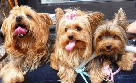 www yorkies courir des rues one quality the finest