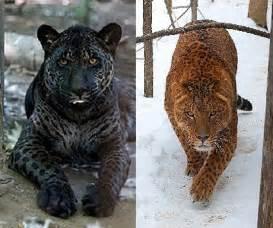 Jaguar And Tiger Hybrid Top 10 Plus Hybrid Animals Of The World Animal