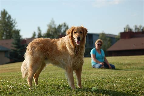 largest golden retriever world s largest golden retriever flickr photo