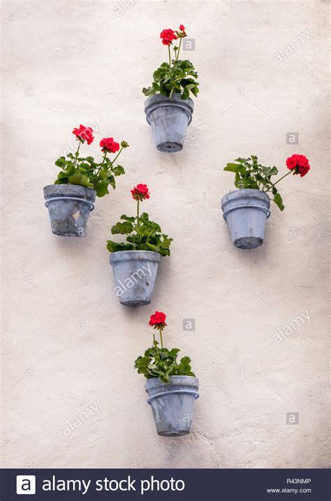 geraniums  flower pots  stock  geraniums