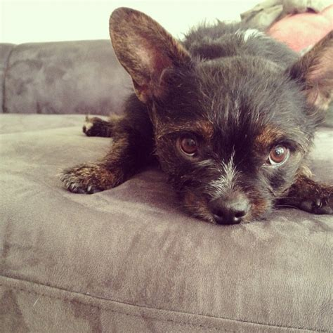 boston terrier yorkie mix puppies boston terrier yorkie mix must cats dogs