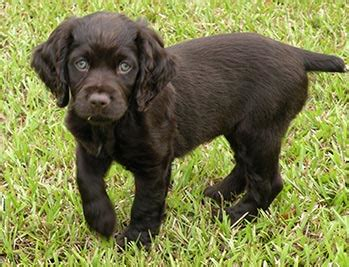 boykin spaniel puppies for sale in sc boykin spaniel puppies for sale picture and images