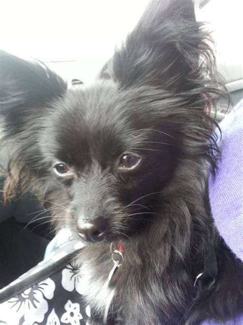 pomeranian x papillon pomeranian x papillon havant hshire pets4homes