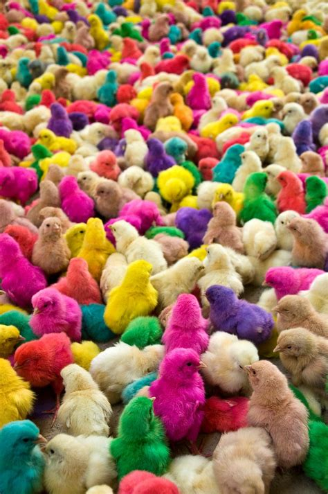 colorful chickens 12 best images about coloured on