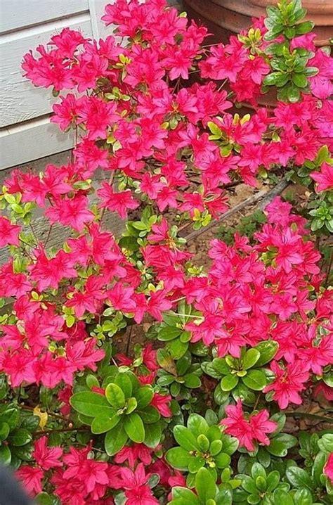 azalea da giardino azalea piante da giardino coltivazione azalea