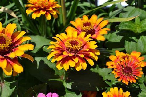 fiori da giardino primavera estate fiori estivi da vaso o giardino idee green