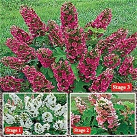 ruby slippers hydrangea deer resistant 102 best plants deer wont eat images on