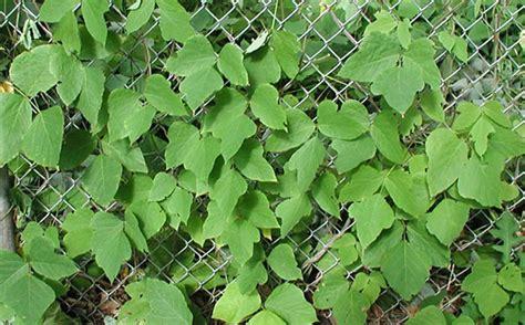 kudzu connecticut invasive plant working group