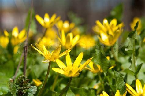 gelbe blumen im rasen gelbe bl 252 ten im park im fr 252 hling stock foto colourbox