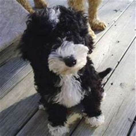 labradoodle puppies nj our australian labradoodles can be found in michigan ohio new york new jersey