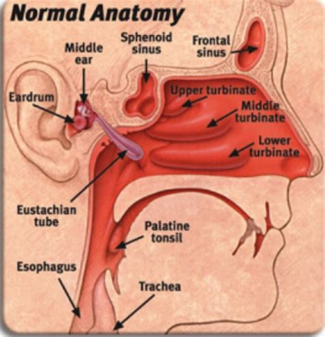 ear nose throat how the tube connects from your middle ear to your nose