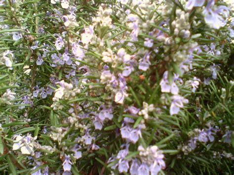 fiori rosmarino raccolta foto di piante e fiori pensieri e foto ricordo