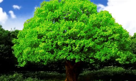 wallpaper green tree best hd every wallpapers beautiful big green tree hd