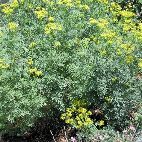 common rue seeds for butterfly gardens