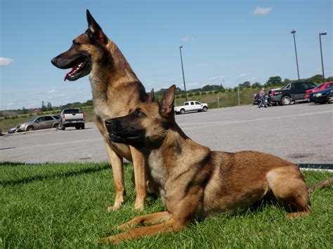 how to k9 dogs image gallery k9 dogs