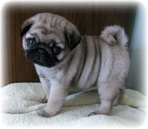 pug breeders in bc best 25 pug puppies ideas on pugs pugs and pug puppies