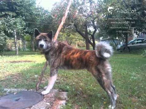 most loyal breeds akita breed information large and powerful dogs funnydog tv