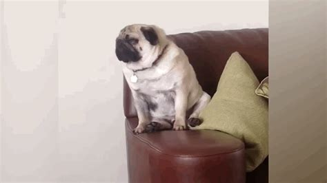 pug on chair gif musical chairs survivor 3 page 11 mturk crowd mechanical community forum