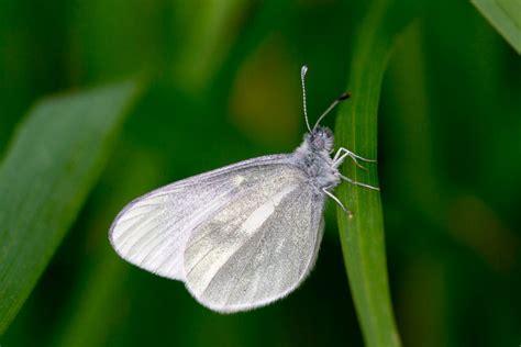 imagenes de mariposas blancas y negras galer 237 a de im 225 genes mariposas diurnas