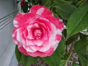 camellia flowers flowers