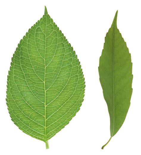 green leaves png image veerendra vijaya pinterest green leaves png3648 png 2531 215 2800 patterns
