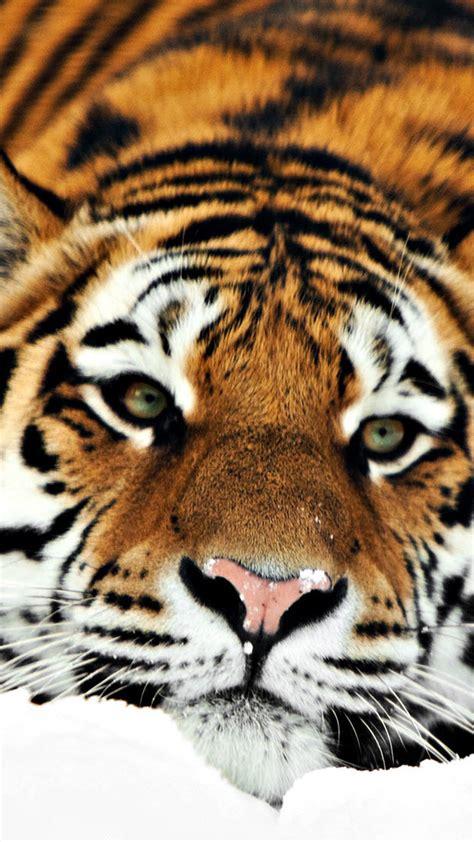 wallpaper iphone 6 tiger tiger hd 1080p galaxy s5 wallpapers samsung galaxy s5