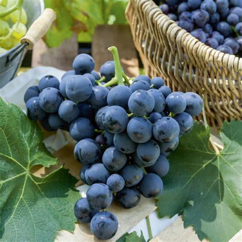 vite da tavola vite da tavola alphonse lavallee viti da tavola meilland