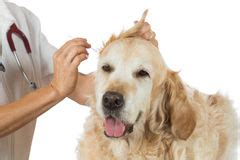 cleaning golden retriever ears vet cleaning ear stock photos images pictures