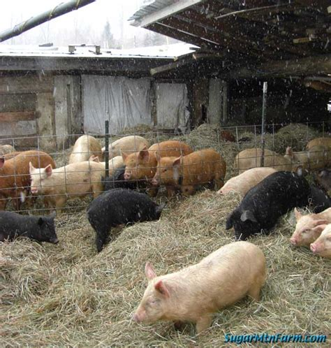 Do Pigs Shed by Units Of Hay And Dairy Per Pig Sugar Mountain Farm