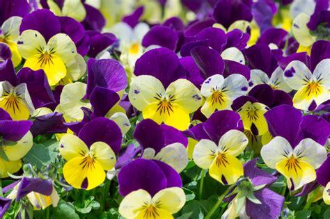 violetta fiore viole come coltivare il fiore pi 249 profumato www stile it