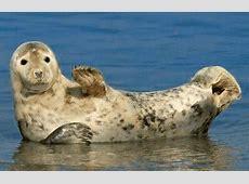Lustige Tierbilder Seehund