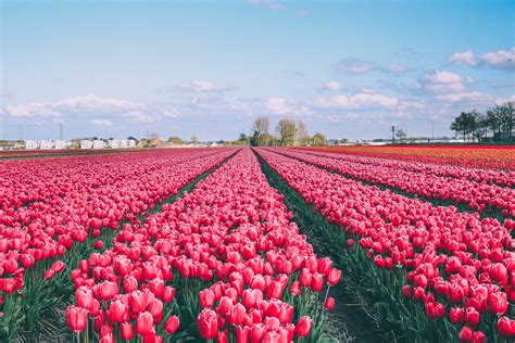tulip field tulip fields and windmills in holland barefoot blonde by