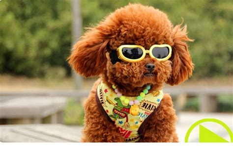 puppy sunglasses popular small sunglasses buy cheap small sunglasses lots from china small