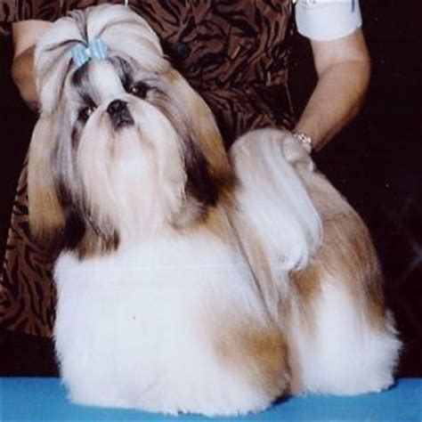 shih tzu breed characteristics what is the temperament of the shih tzu breed allowing for individual differences