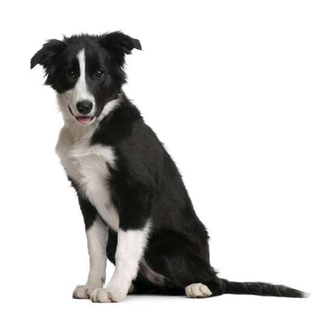 alimentazione border collie border collie razza agile e scattante adatto alle